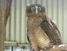 Roufus Owl